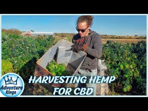HEMP for CBD | Industrial HEMP HARVEST for CBD