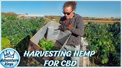 HEMP for CBD   Industrial HEMP HARVEST for CBD