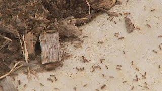 Вторжение красных огненных муравьёв