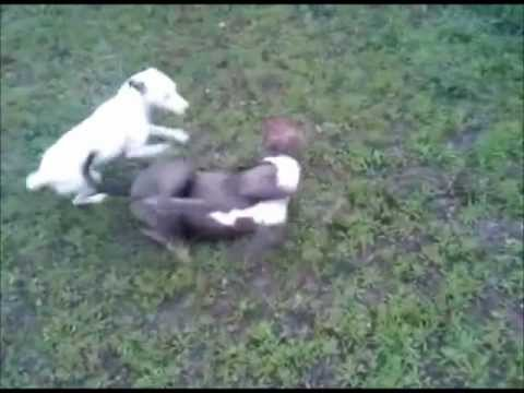 My Jack Russell is crazy (vs. Pitbull)