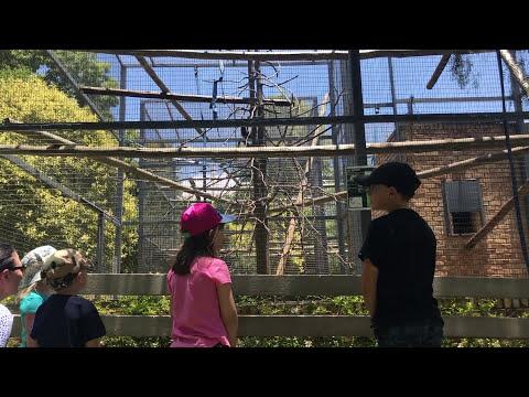 Gibbon Monkey catches children!