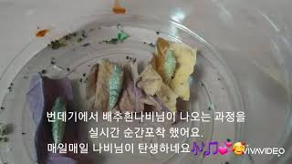 #배추흰나비의한살이#배추흰나비가 번데기에서 나오는 과정…