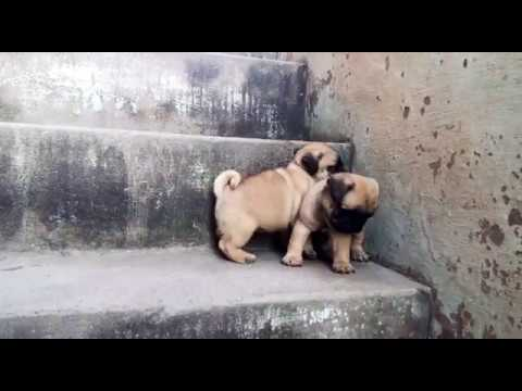 Two Healthy Pug Puppies For Sale In Delhi 09999039993pair Price