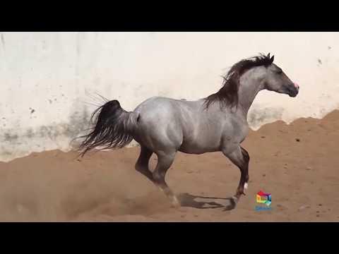 Cavalo Quarto de Milha no Maranhão