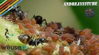 Afidi (pidocchi delle piante, Aphis Citricola etc) - Rimedi naturali e non - Agr Marco Beconcini  -