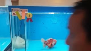 all indonesia goldfish competition ice 16-18 des 16. Runner up oranda senior