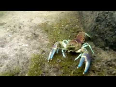 Underwater River Crawfish Footage