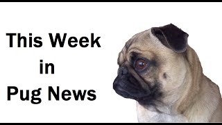 This Week In Pug News (february 16, 2015)