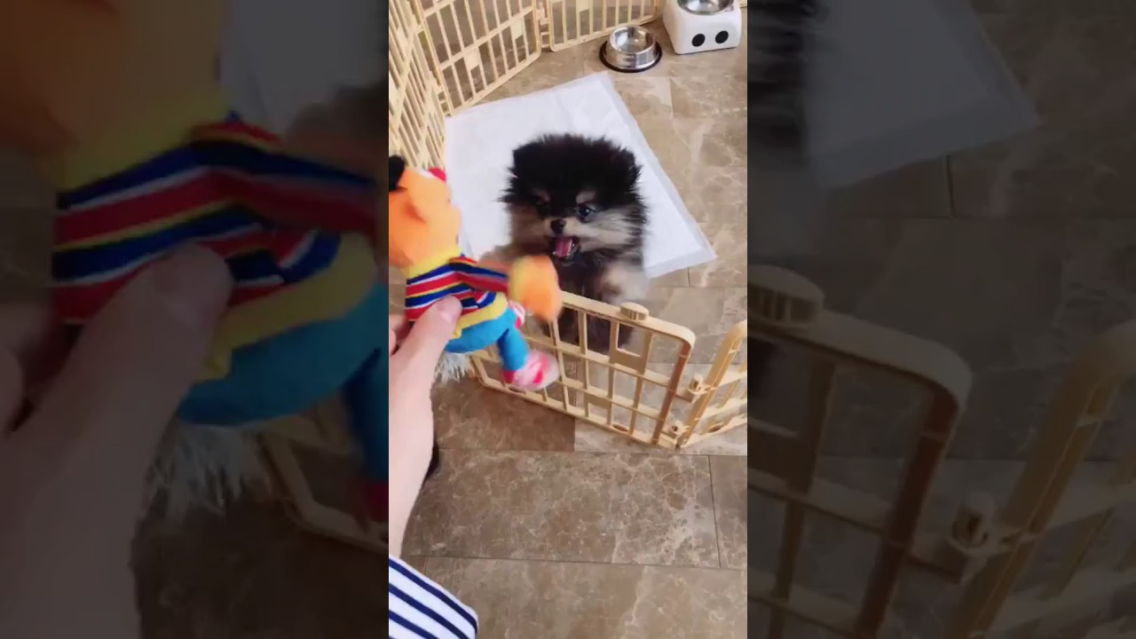 BTS V [Kim Taehyung] - Famous Cute Dog Yeontan playing with toy Ernie