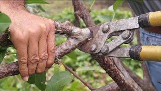 La poda para inducir la produccion en el cultivo de la guayaba