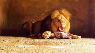 Feeding Day! What do Lions, Black Leopards and Hyenas eat? | The Lion Whisperer