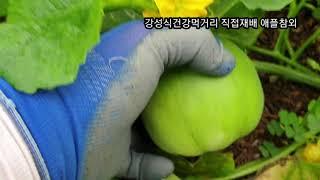 공생토양에서 폭풍 성장중인 직접재배 무농약 애플참외 소…