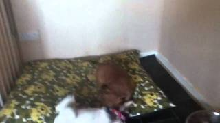 6 Weeks Old Staffordshire Bull Terrier Puppies Playing