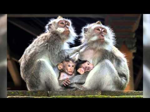 Фотографии обезьян - символ 2016 года