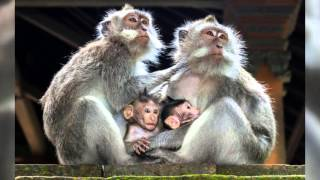 Фотографии обезьян - символ 2016 года(, 2015-11-10T11:10:16.000Z)