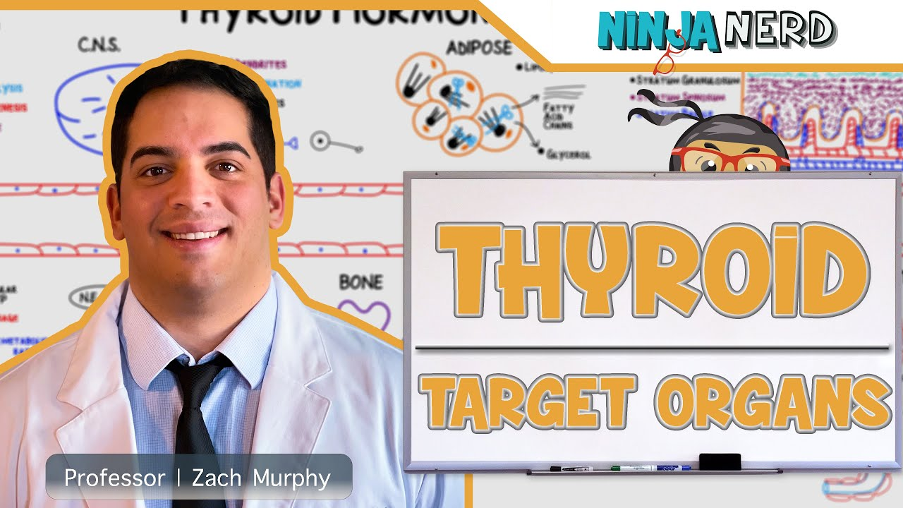 Endocrinology Target Organs Of The Thyroid Youtube
