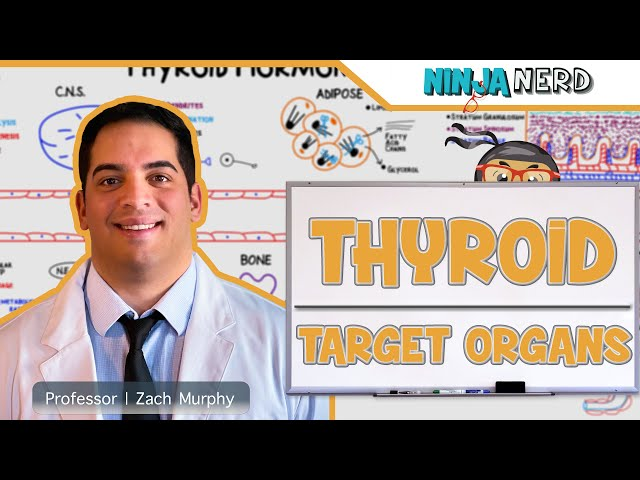 Endocrinology | Target Organs of the Thyroid