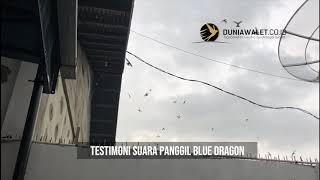 Testimoni Suara Walet Original BAN Blue Dragon