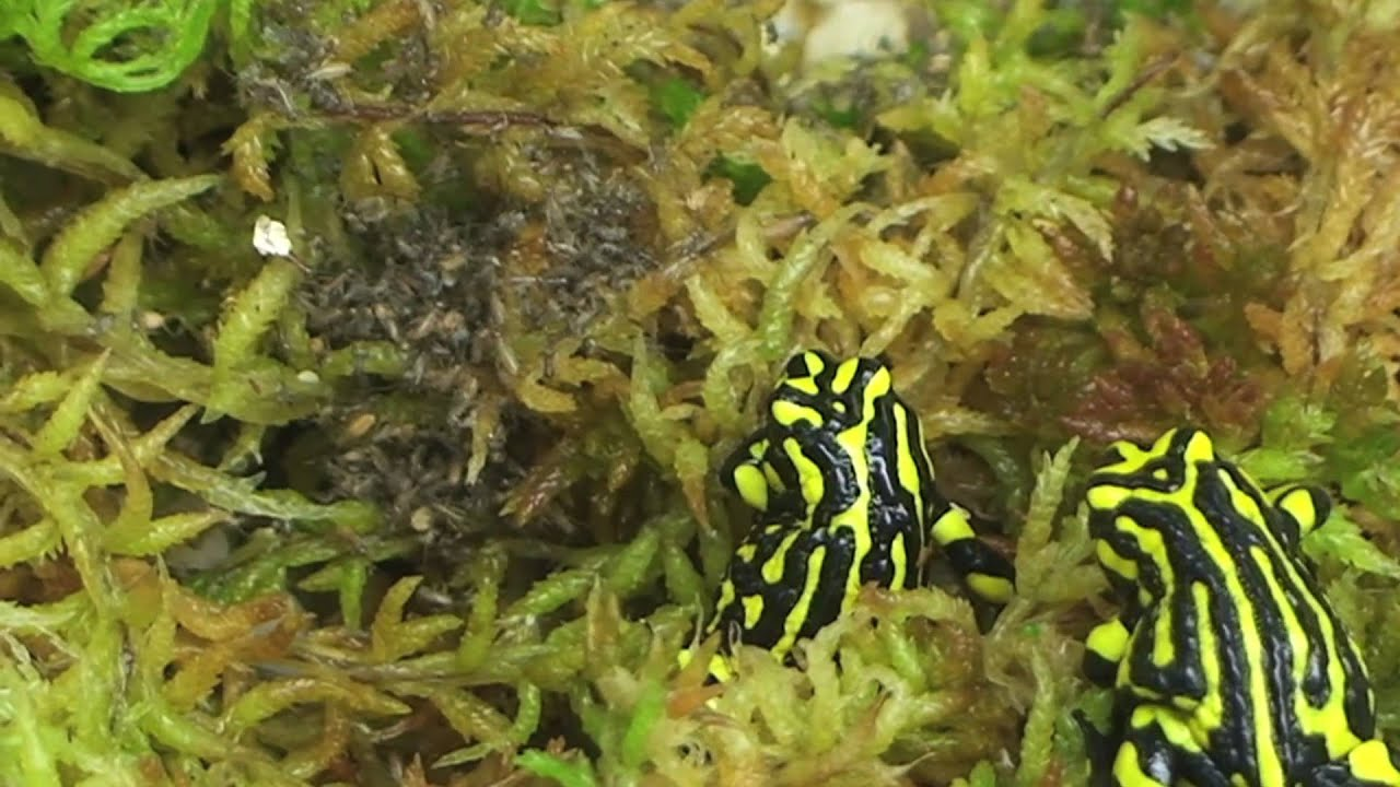 Inside Taronga S Corroboree Frog Conservation Container