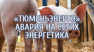 Найдена новая причина массовой гибели свиней в Тюменской области