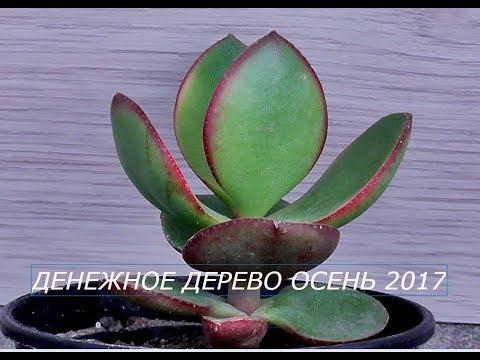 ДЕНЕЖНОЕ ДЕРЕВО  Крассула Овата  Толстянка Осень 2017 год.