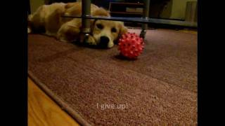 Funny Golden Retriever Puppy  - Lubella Is Confused By The Glass Table!