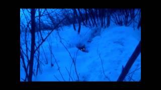 Border Terriern Terje Sprenger Rev (borderterrier Bolts Fox)