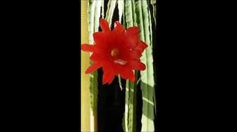 Hovipojankaktus kukkii