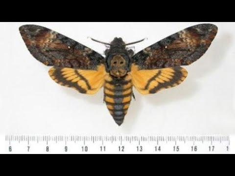 Вопрос: Кто это,бабочка или мотылёк, изображены на фото?