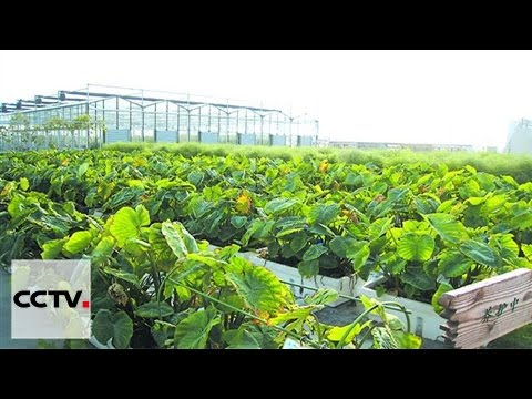 Sky-high farms: China rooftop agriculture growing in popular