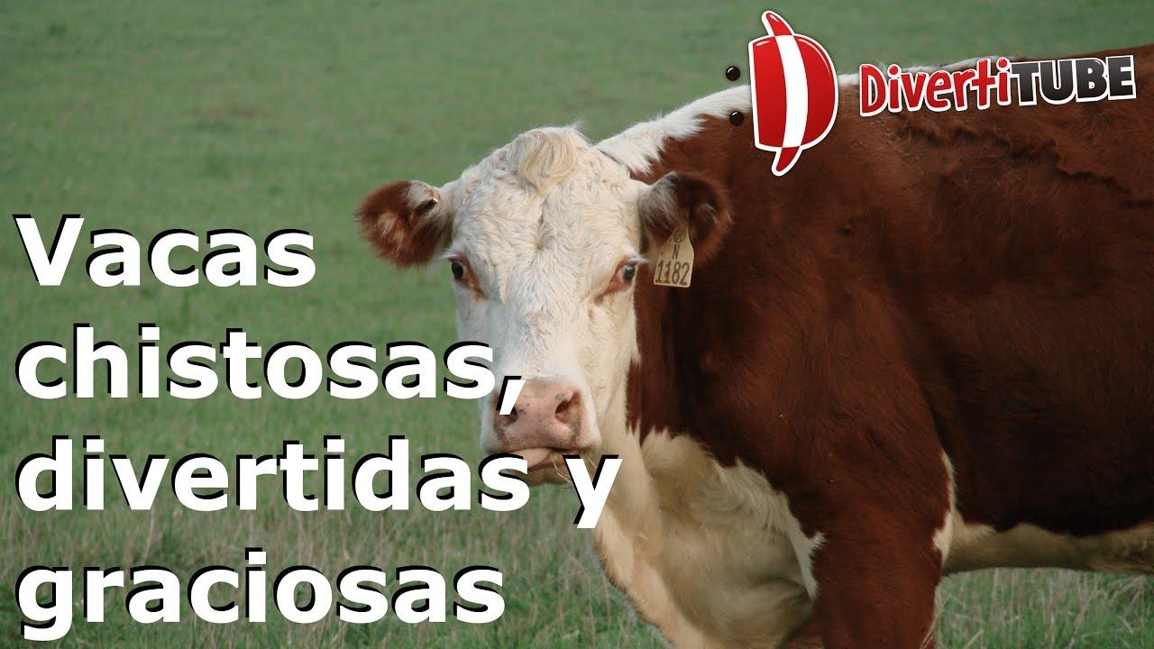Vídeos de vacas chistosas divertidas y graciosas YouTube