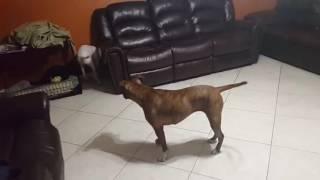 Download Video The Best Dogs Chesper 2016 ladrando MP3 3GP MP4