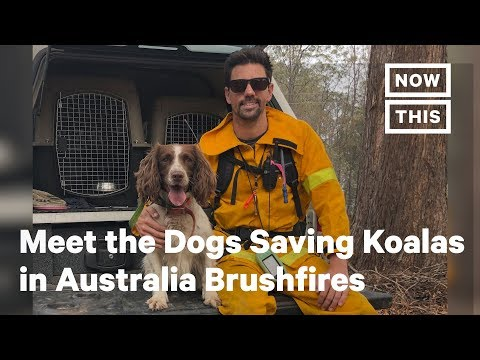 Captain Tony - A Team Of Dogs Is Rescuing Koalas Injured In Australia's Fires