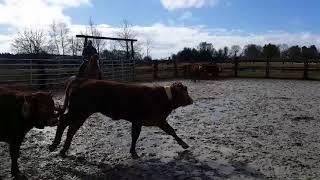 Les Cow-boys de Callengeville trient le bétail à cheval.