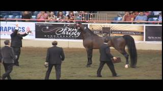 2014 US Nationals Arabian Stallions 4 and over