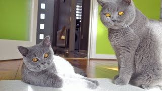 The Laziest Cat Fight Ever!!!