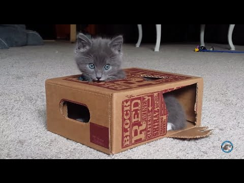 Tiny kitten plays in a wine box and discovers his paw!
