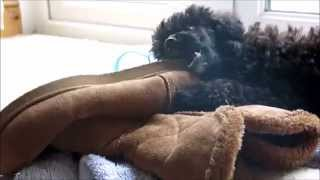 Meet Tas :) Her mum is a miniature poodle cross chinese crested pow...