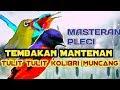 Suara Masteran Pleci Nembak Mantenan Tulit Tulit Kolibri Muncang Wulung  Mp3 - Mp4 Download