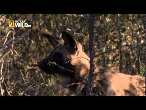 The Pack : Wild Dogs - 720p NGW