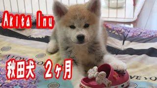 生後2ヶ月の秋田犬ソースク君 4ヶ月のマック君 新しい環境にも慣れてハ...