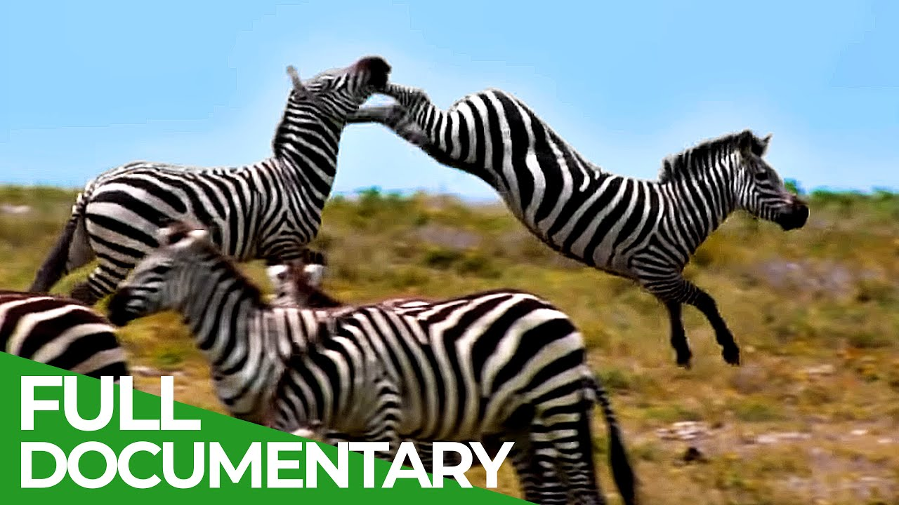 Download Punda the Zebra - The Tale of an Unusual Hero | Free Documentary Nature