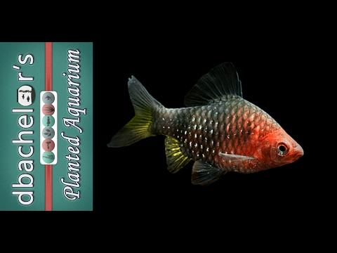 Fish Profile: Black Ruby Barb