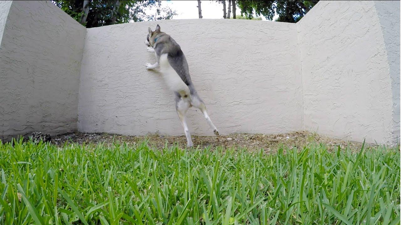 Husky NEEDS to go to the Pet Store!