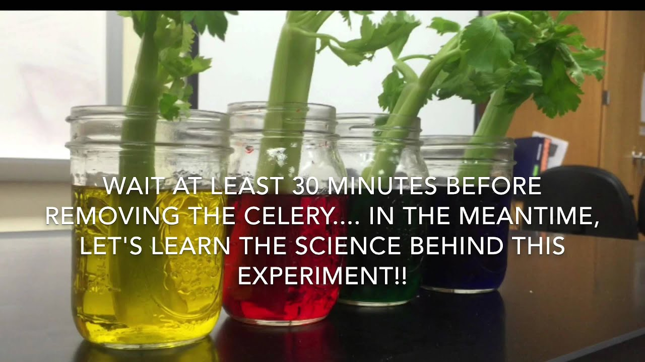 small resolution of Celery and Food Coloring Experiment - YouTube
