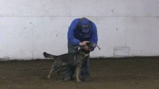 Etta :: Obedience Training With A Tug