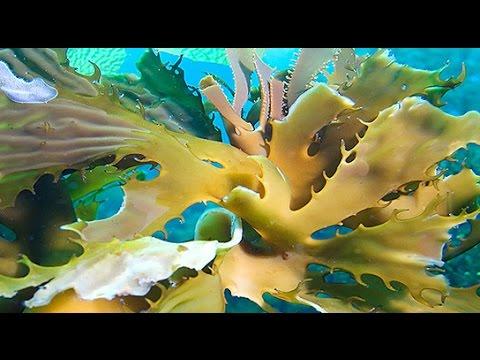 Seaweed As Biofuel Source Breakthrough