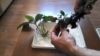 Как посадить анубиас в аквариуме. И несколько слов об анубиасах