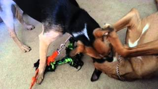 Great Dane/boxer Mix Playing With Beagle/ Blue Heeler Mix