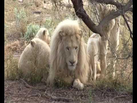 Lion Kids Show